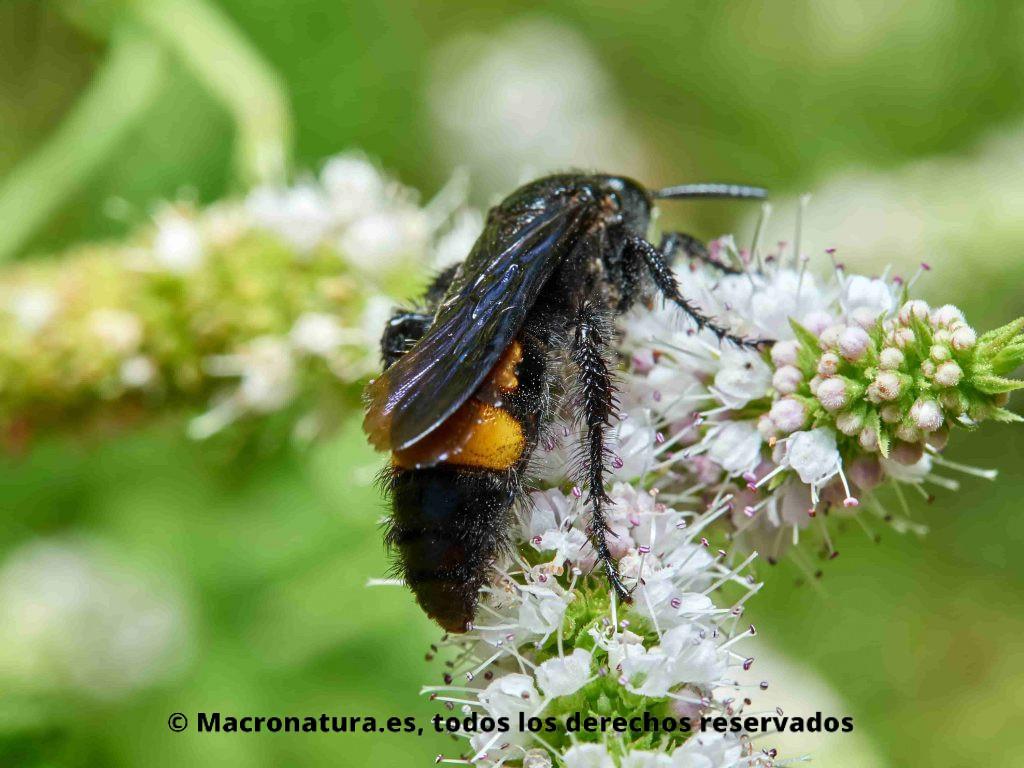 Avispa solitaria Scolia (Discolia) hirta sobre una flor.