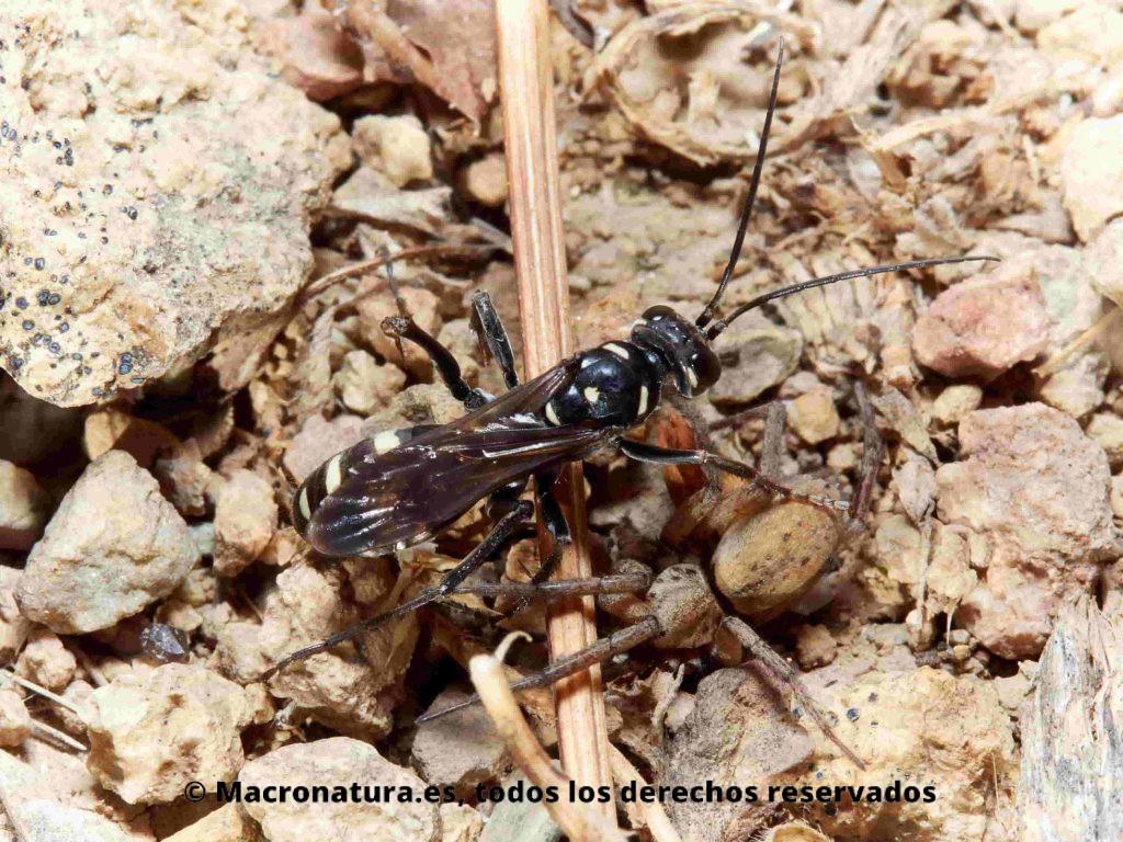 Avispas cazadoras de arañas género Cryptocheilus con una araña cazada