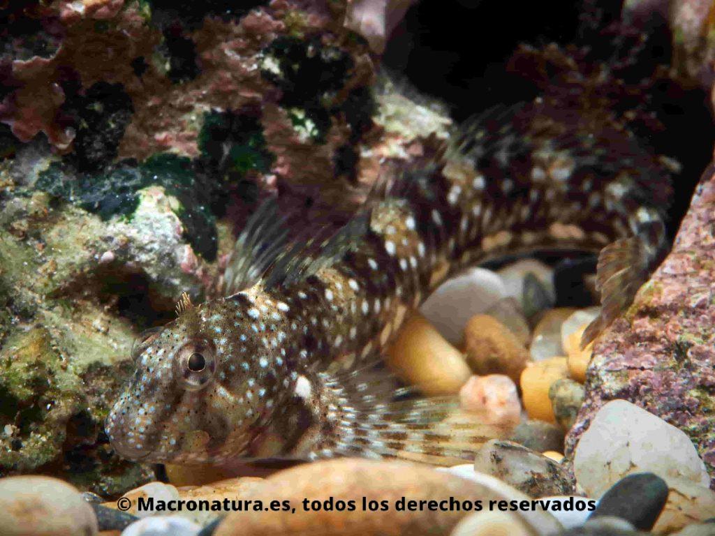 Blenio Coryphoblennius galerita, en el fondo marino