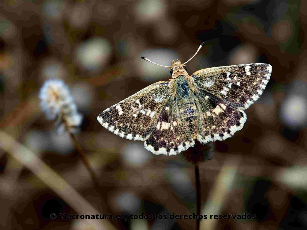 Mariposa Polvillo dorado Sloperia proto, anverso de alas