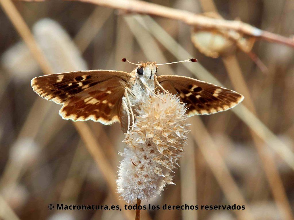 Mariposa Polvillo dorado Sloperia proto, anverso de las alas