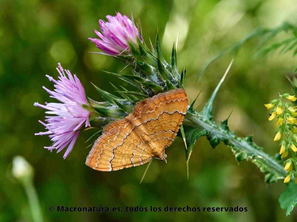 Polilla Camptogramma bilineata sobre una planta verde con flores moradas. Se observa las cuatro alas dispuestas en horizontal y las líneas onduladas.