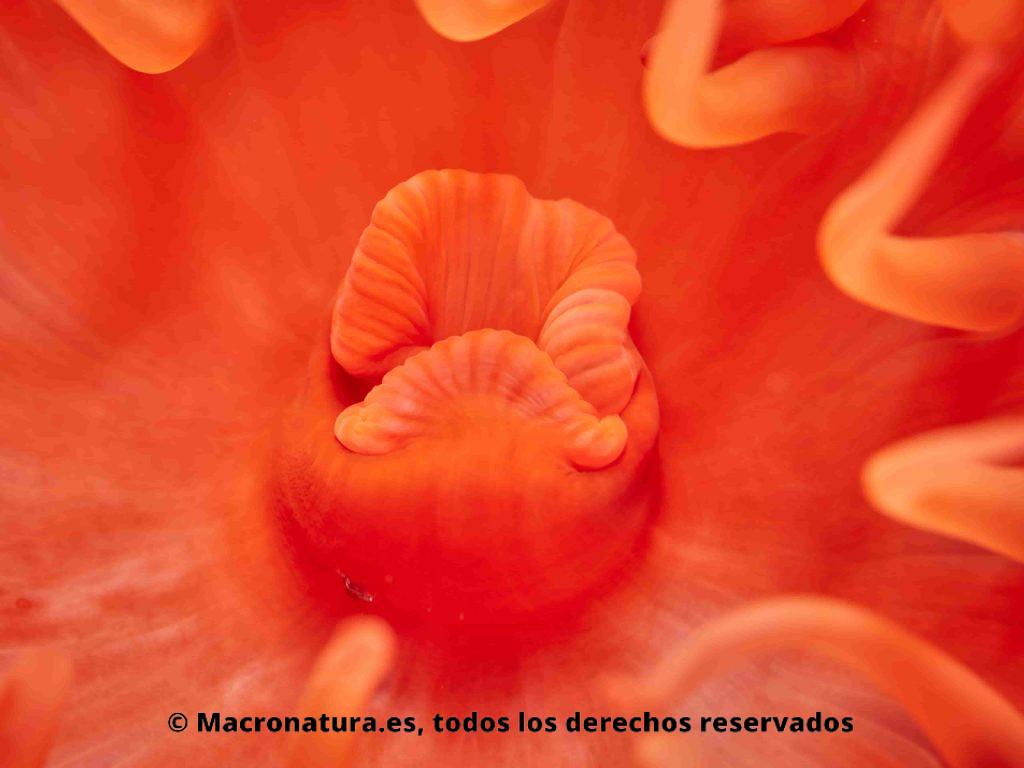 Tomate de mar Actinia equina, detalle de boca