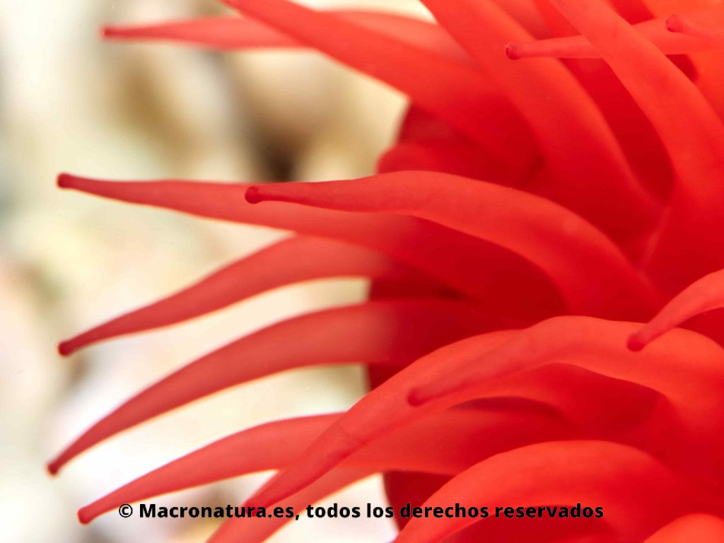 Tomate de mar Actinia equina, detalle de tentáculos