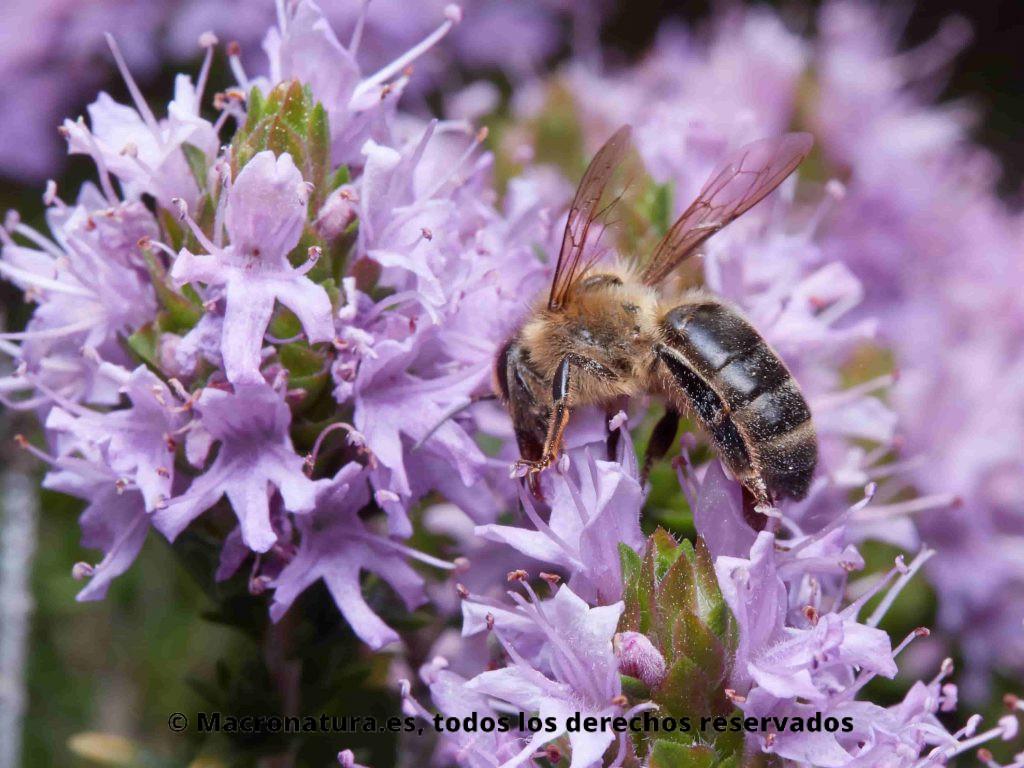 Abeja europea Apis mellifera sobre flor de tomillo u oregano