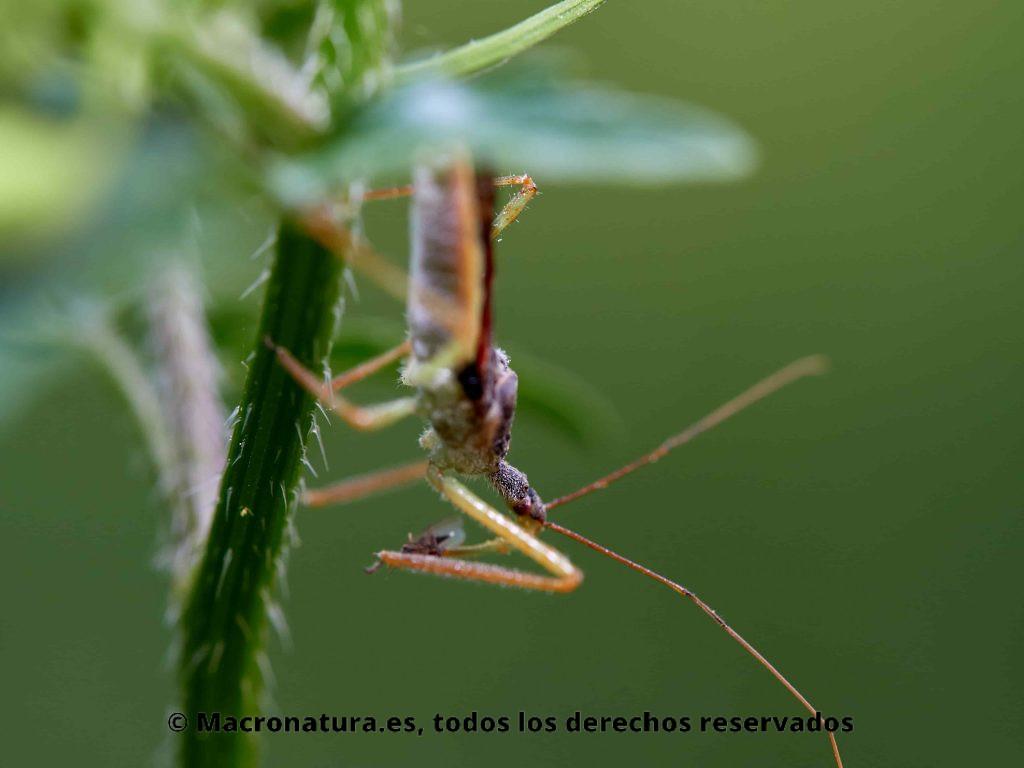 Chinche Asesina Norteamericana Zelus renardii sobre una planta. Detalle de cabeza y pico