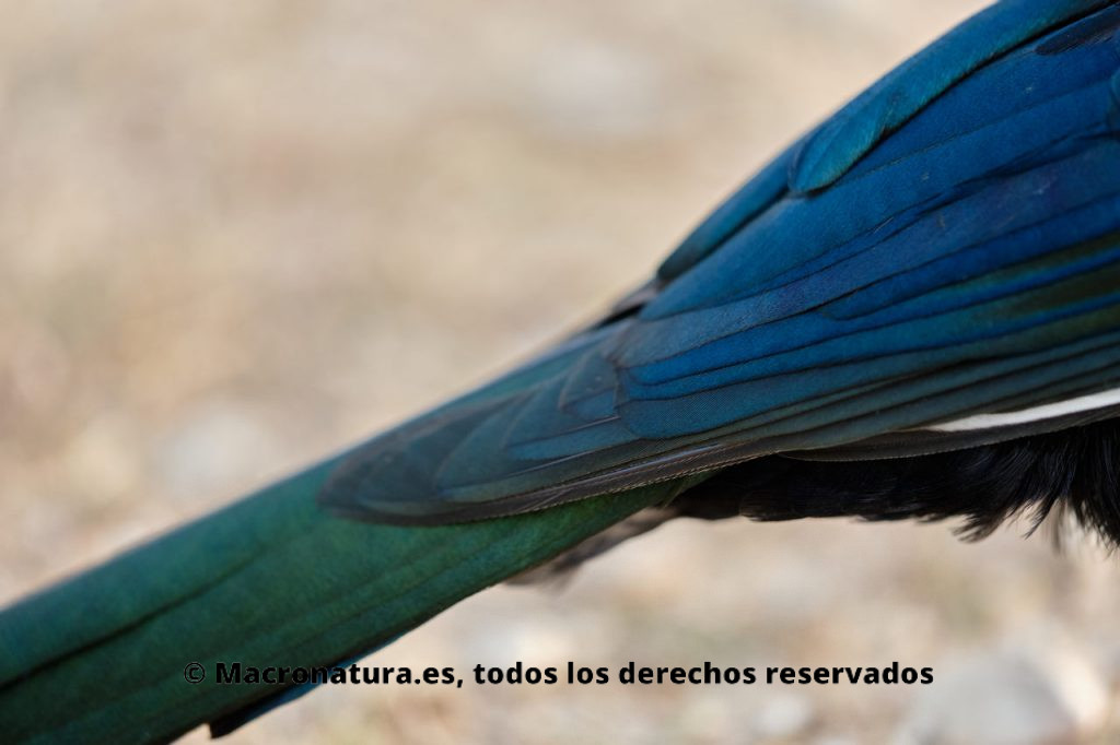 Plumaje de Urraca común Pica Pica. Tonos verdes y azulados