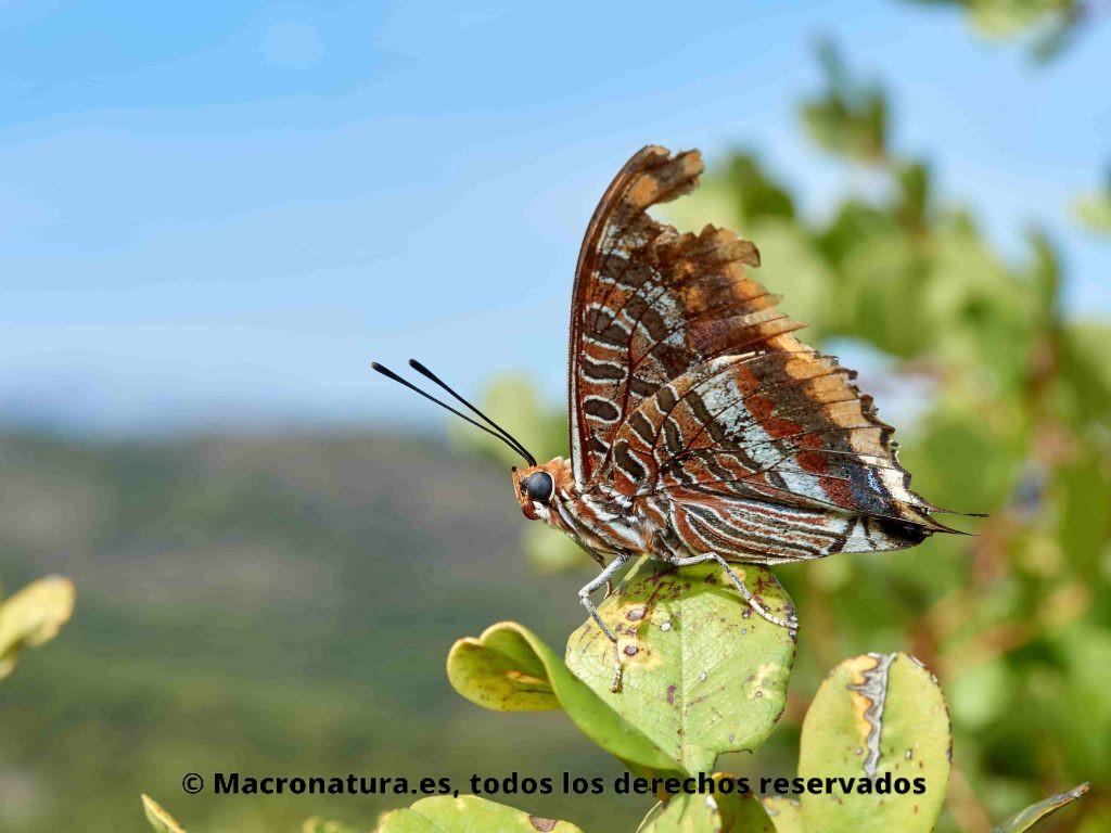Mariposa del madroño Charaxes jasius sobre un arbusto. Mariposa con alas desgastadas.