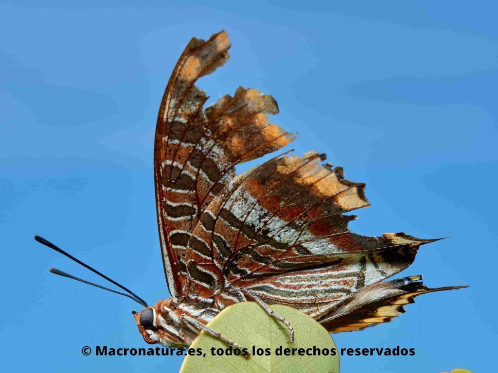 Mariposa del madroño Charaxes jasius sobre un arbusto. Mariposa con alas muy desgastadas.