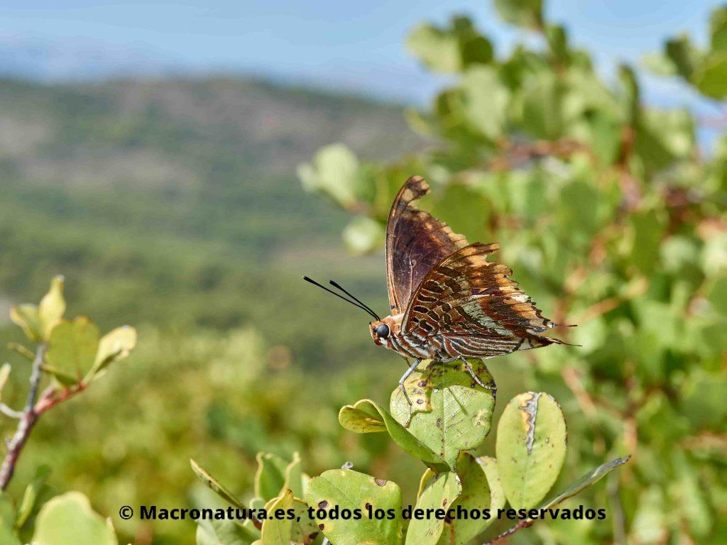 Mariposa del madroño Charaxes jasius sobre un arbusto