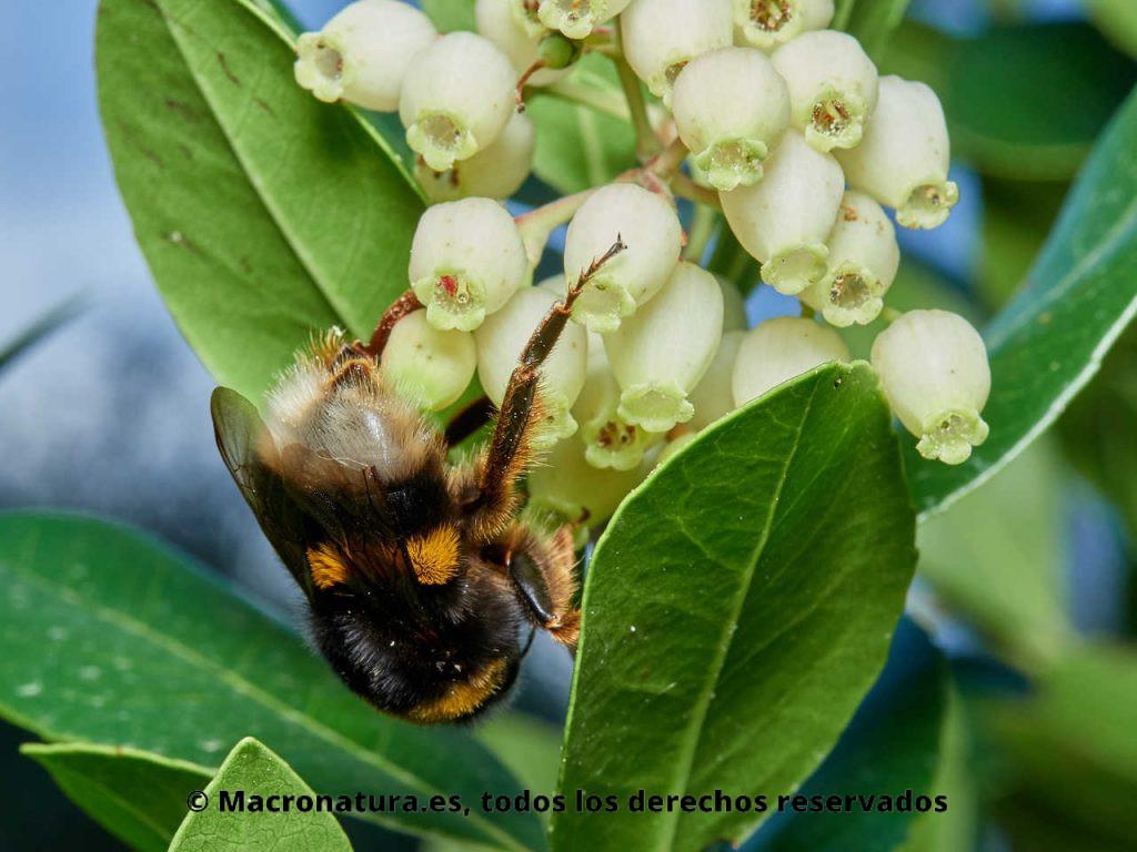 Abejorro europeo Bombus terrestris recolectando néctar en flores de madroño. Cabeza hacia abajo.