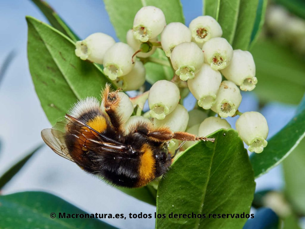 Abejorro europeo Bombus terrestris recolectando néctar en flores de madroño. Posición lateral y patas hacia arriba.