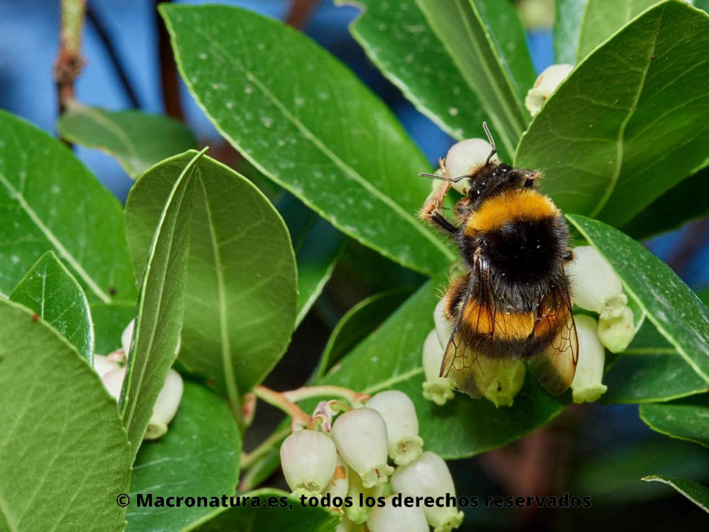 Abejorro europeo Bombus terrestris recolectando néctar en flores de madroño. Vista de abdomen, alas y antenas.