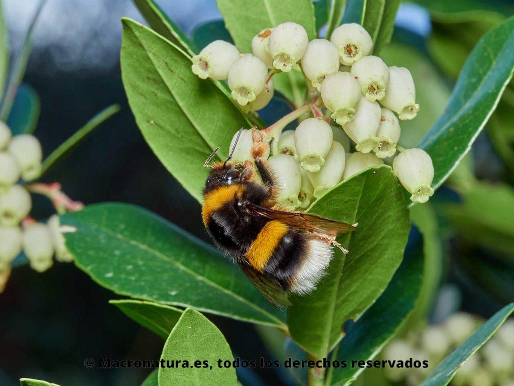 Abejorro europeo Bombus terrestris recolectando néctar en flores de madroño. Posición lateral.
