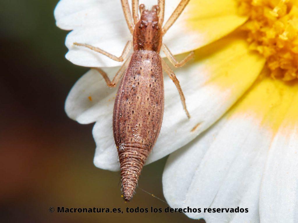 Araña cangrejo Monaeses paradoxus. Detalle de abdomen.