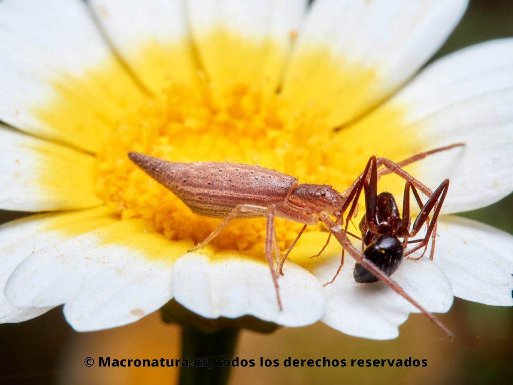 Araña cangrejo Monaeses paradoxus sobre una flor de margarita con una hormiga cazada