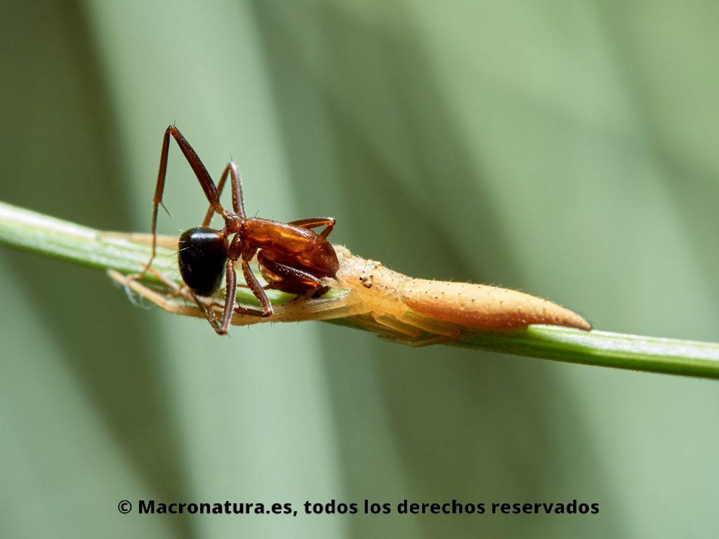 Araña cangrejo Monaeses paradoxus sobre el tallo de una retama comiéndose una hormiga