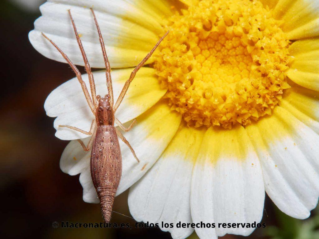 Araña cangrejo Monaeses paradoxus sobre los pétalos de una margarita