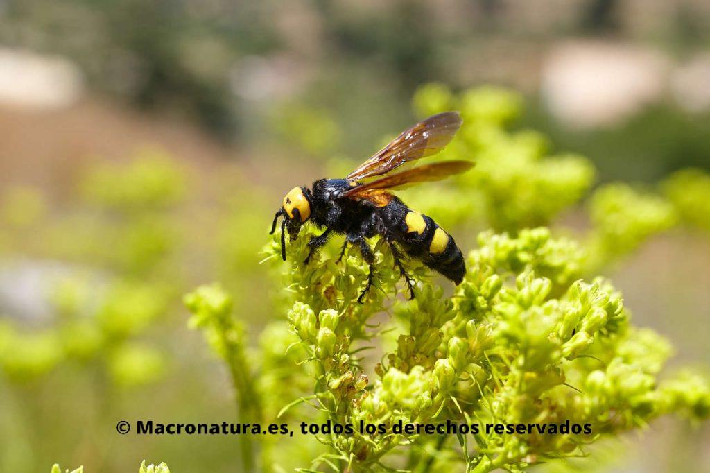 Avispa Mamut Megascolia maculata sobre flores recolectando néctar. Vista lateral.