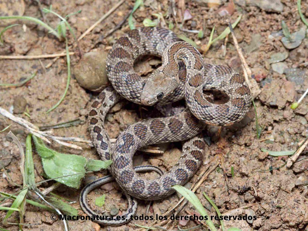 Culebra de herradura Hemorrhois hippocrepis en posición defensiva. Ejemplar joven.