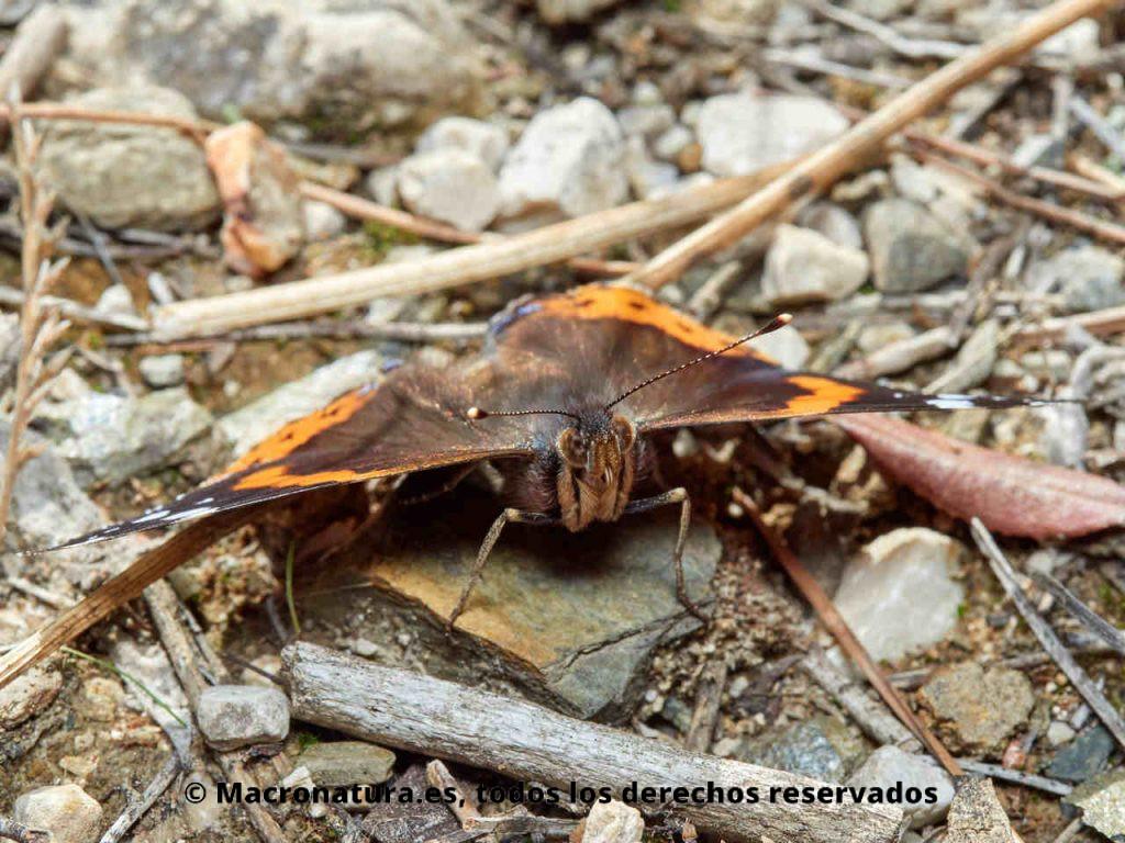 Mariposa Atalanta Vanessa atalanta. Detalle de cabeza, ojos con pilosidad y antenas en maza