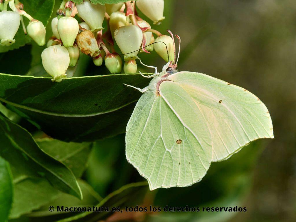 Mariposa Limonera Gonepteryx rhamni libando néctar de una flor de madroño.