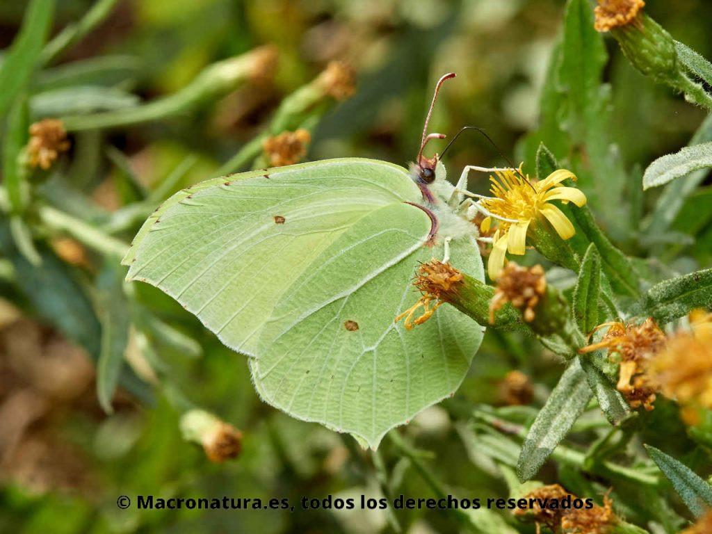 Mariposa Limonera Gonepteryx rhamni libando néctar de una flor amarilla.