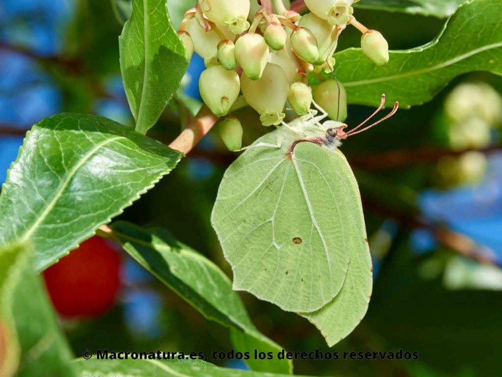 Mariposa Limonera Gonepteryx rhamni libando néctar de una flor de madroño. Alas apuntando hacia el suelo.