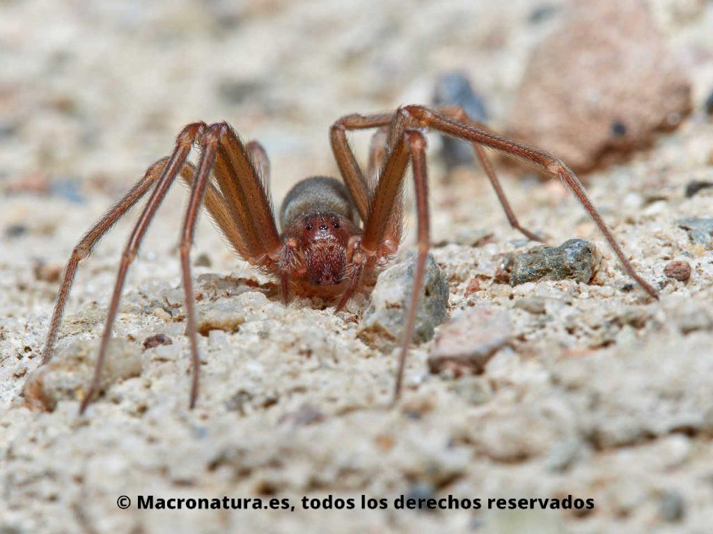 Araña violista Loxosceles rufescens detalles de patas y colorido