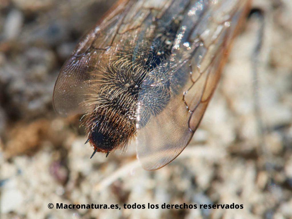 Avispa Campsomeriella thoracica. Detalle de tres espinas apicales propias de la Familia Scoliidae.