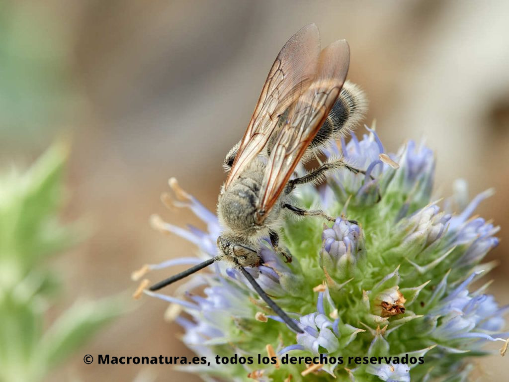 Avispa Campsomeriella thoracica alimentándose de néctar. Vista cenital.