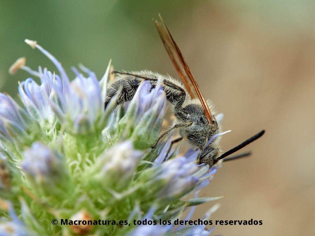 Avispa Campsomeriella thoracica alimentándose de néctar.