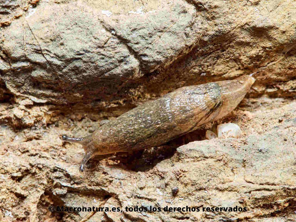 Babosa Drusia valenciennii sobre una piedra