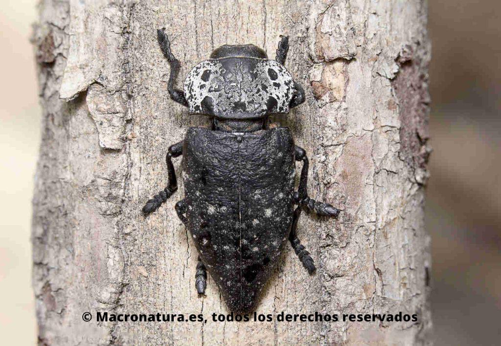 Escarabajo Capnodis tenebrionis sobre la corteza de un tronco