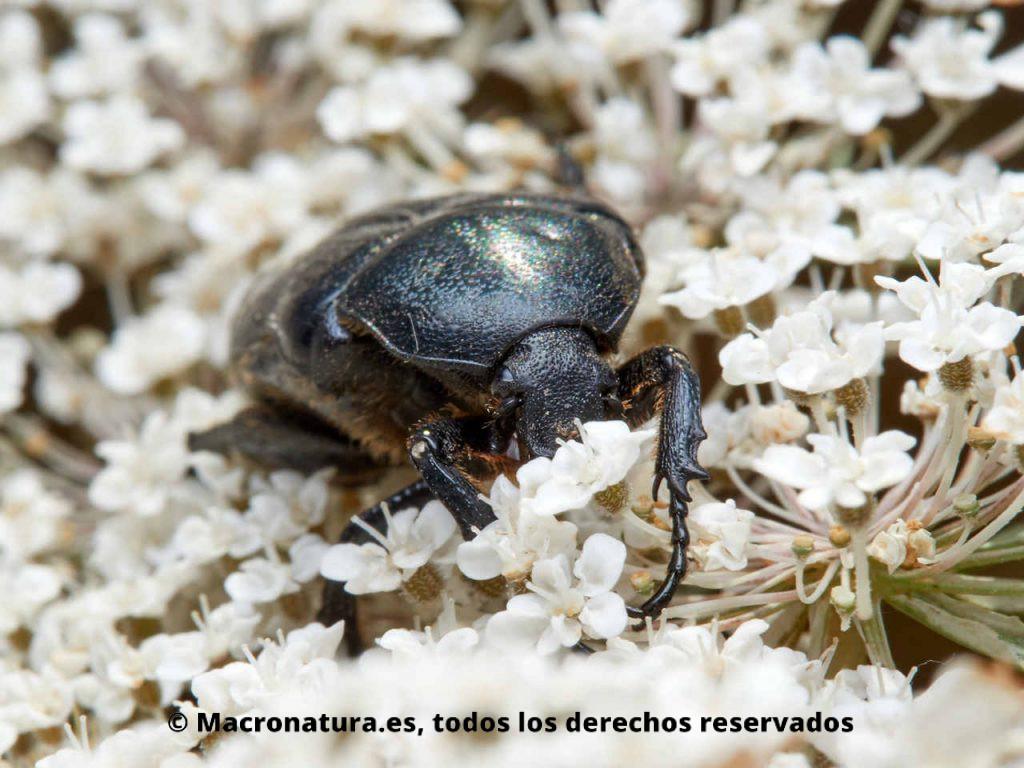 Escarabajo de las flores Aethiessa floralis. Pata festoneada