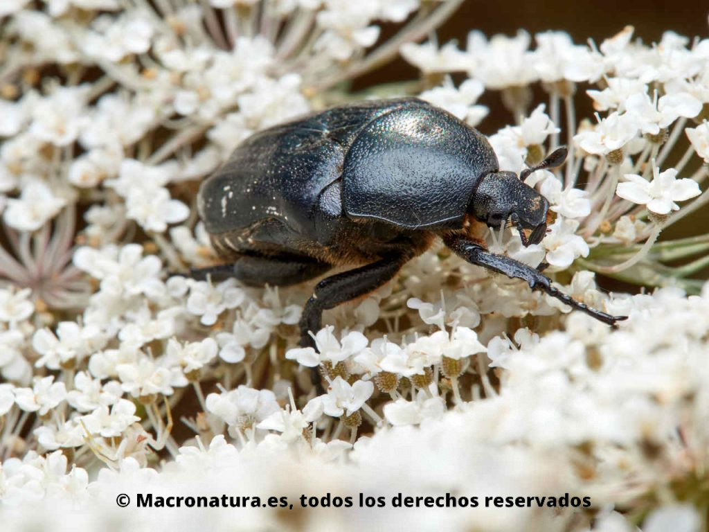 Escarabajo de las flores Aethiessa floralis sobre una flor de zanahoria salvaje. Detalle de pronoto, cabeza y antenas