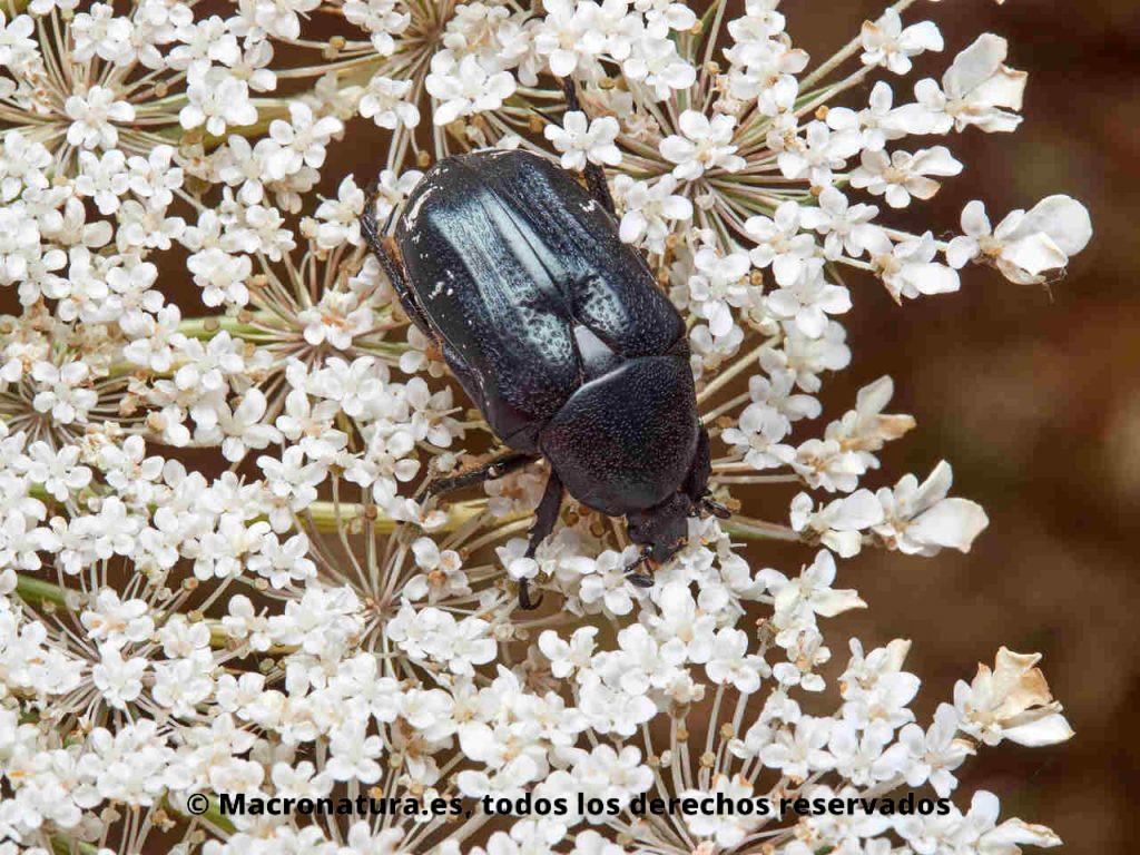Escarabajo de las flores Aethiessa floralis. Cuerpo ovalado, negro con manchas blancas