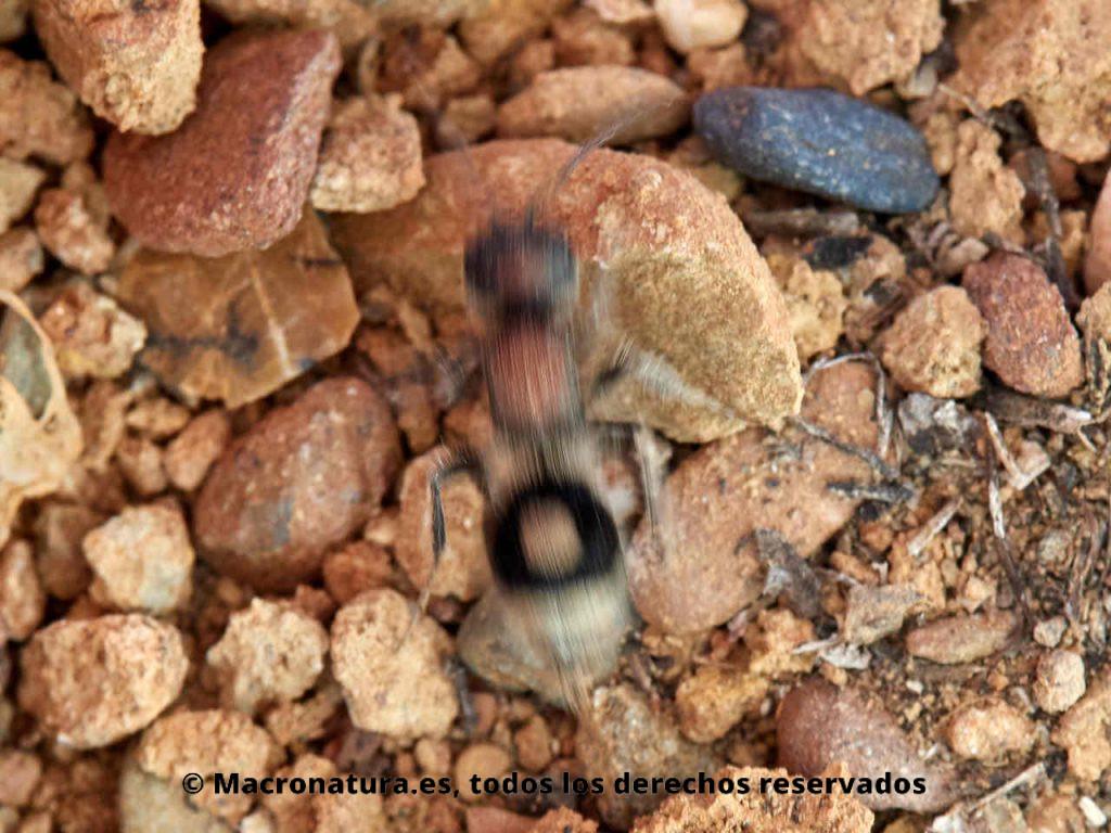 Hormiga de terciopelo Sigilla dorsata sobre una piedras, corriendo muy rápidamente.