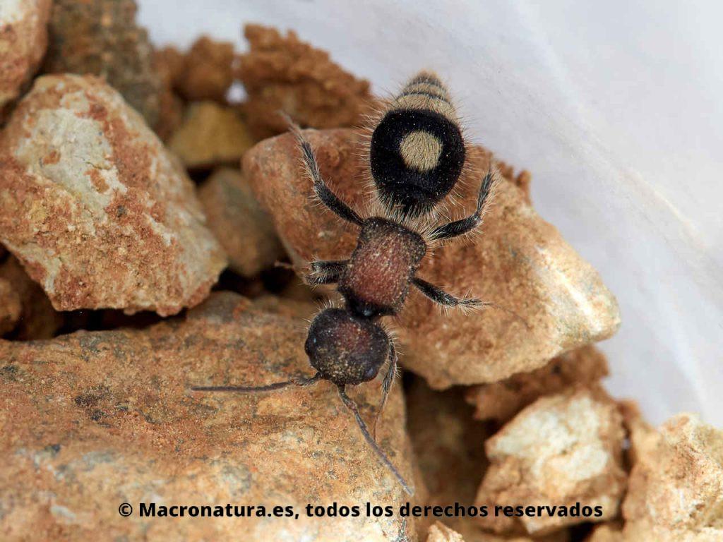 Hormiga de terciopelo Sigilla dorsata sobre una piedras. Detalle cuerpo entero.