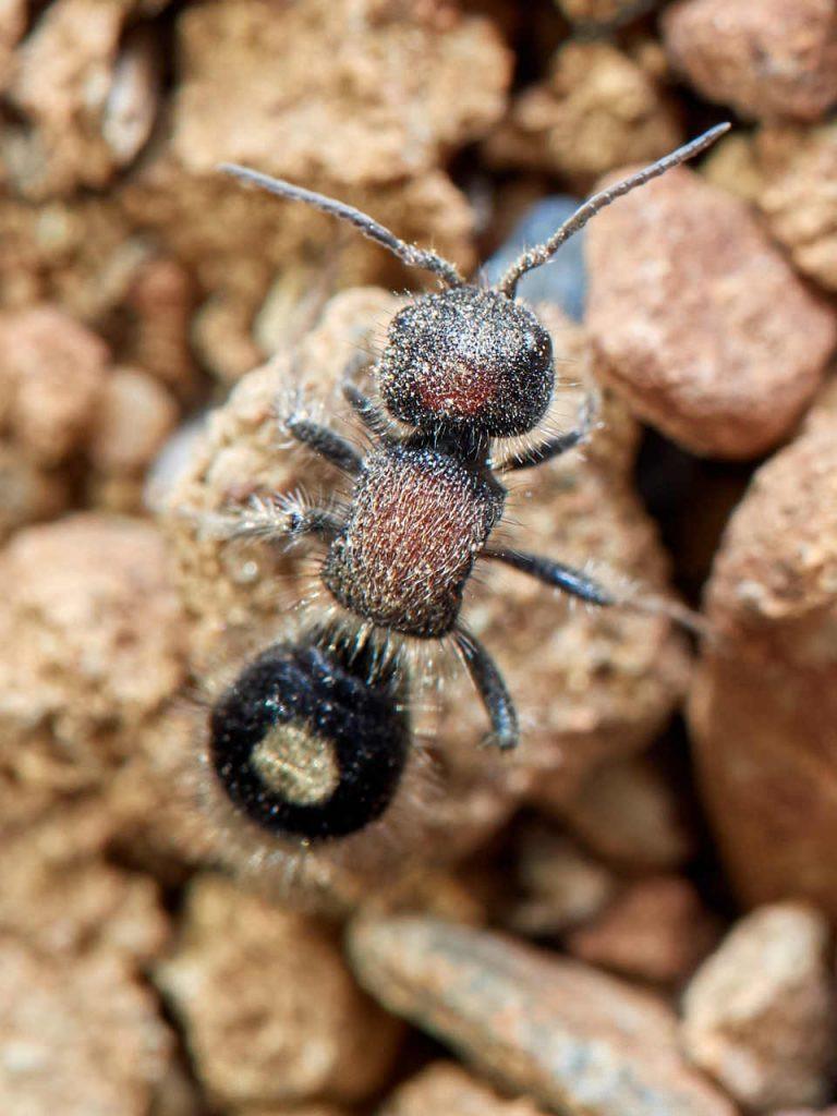 Hormiga de terciopelo Sigilla dorsata sobre una piedras. Detalle cabeza, antenas y pronoto.