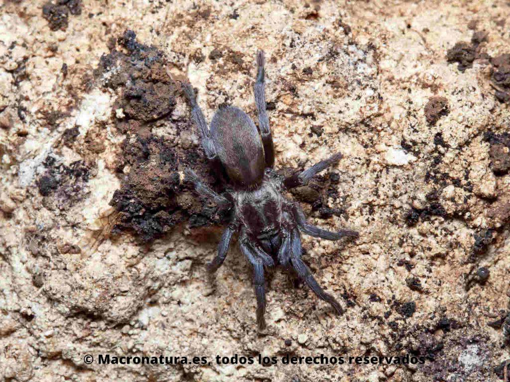Tarántula española Ischnocolus valentinus de color oscuro