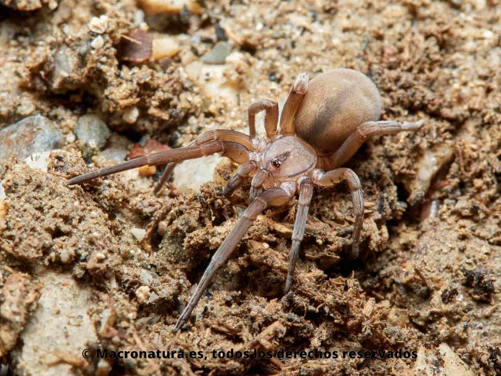 Araña Filistata insidiatrix en el suelo. Vista lateral. Detalle de abdomen.