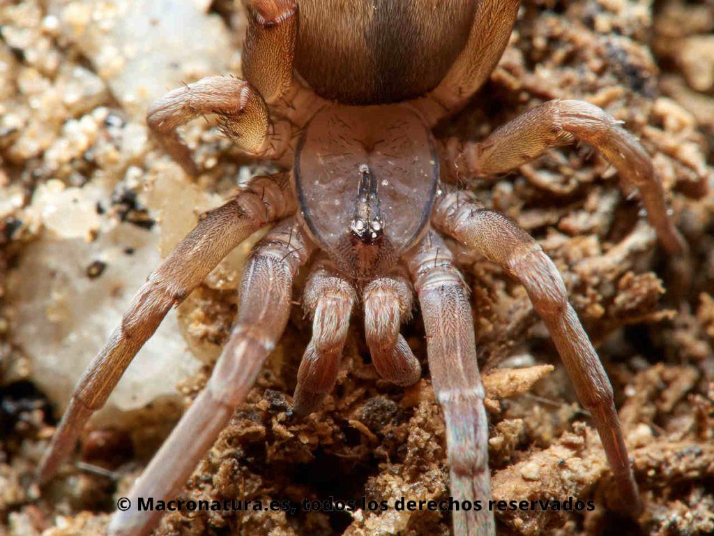 Araña Filistata insidiatrix. Detalle del prosoma, con los ojos en un mismo tubérculo.