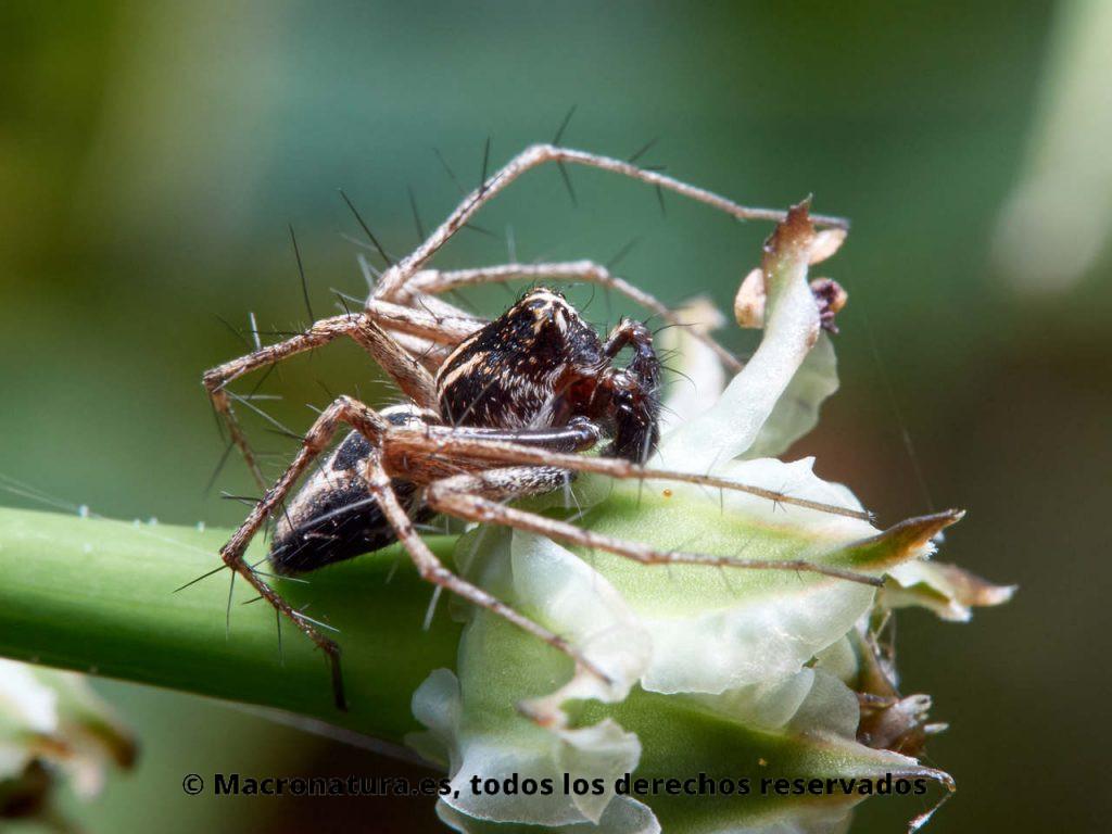 Araña lince Oxyopes heterophthalmus sobre una planta. Vista lateral.