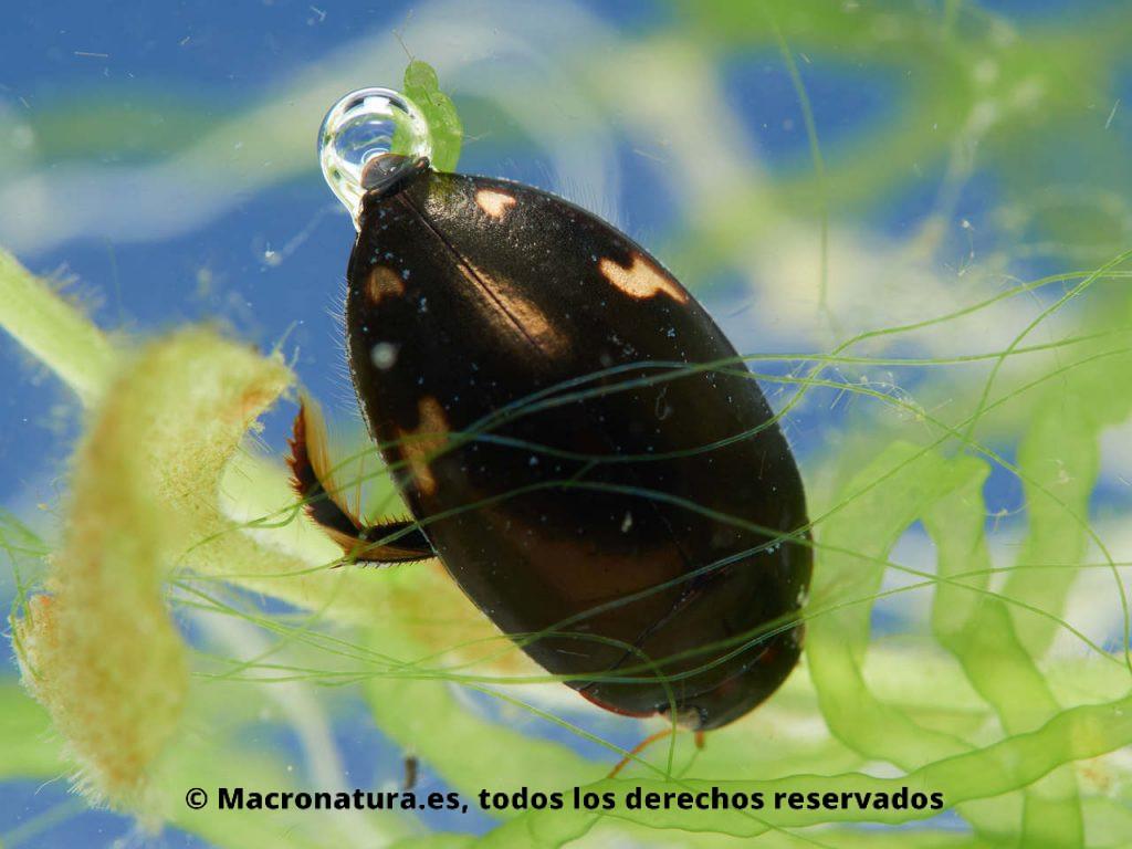 Escarabajo acuático Agabus didymus con una burbuja de aire