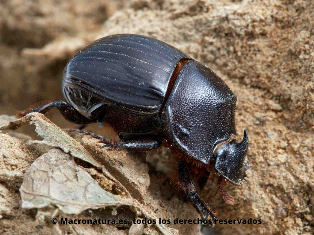 Escarabajo pelotero Copris hispanus hembra.