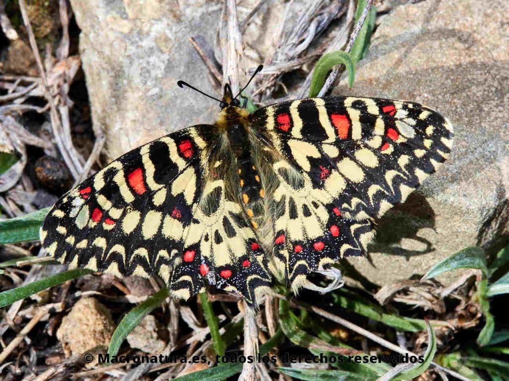 Mariposa arlequín Zerynthia rumina sobre un tallo.