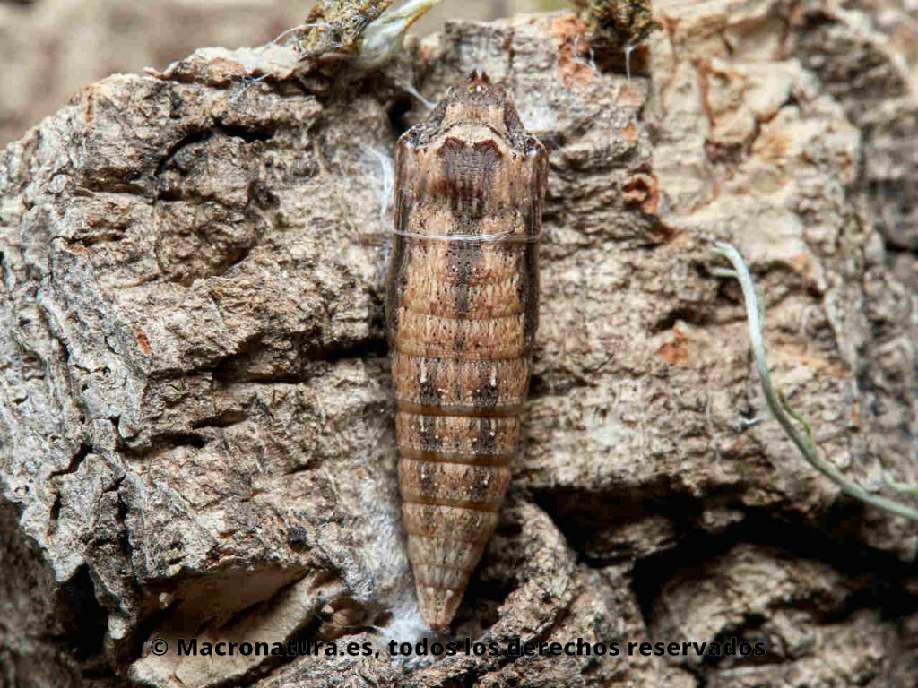 Crisálida de Mariposa arlequín Zerynthia rumina