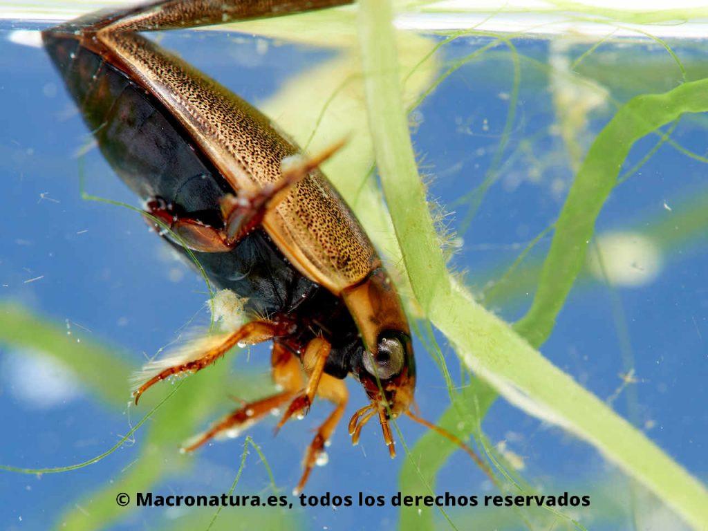 Escarabajo acuático Rhantus suturalis recogiendo aire de la superficie
