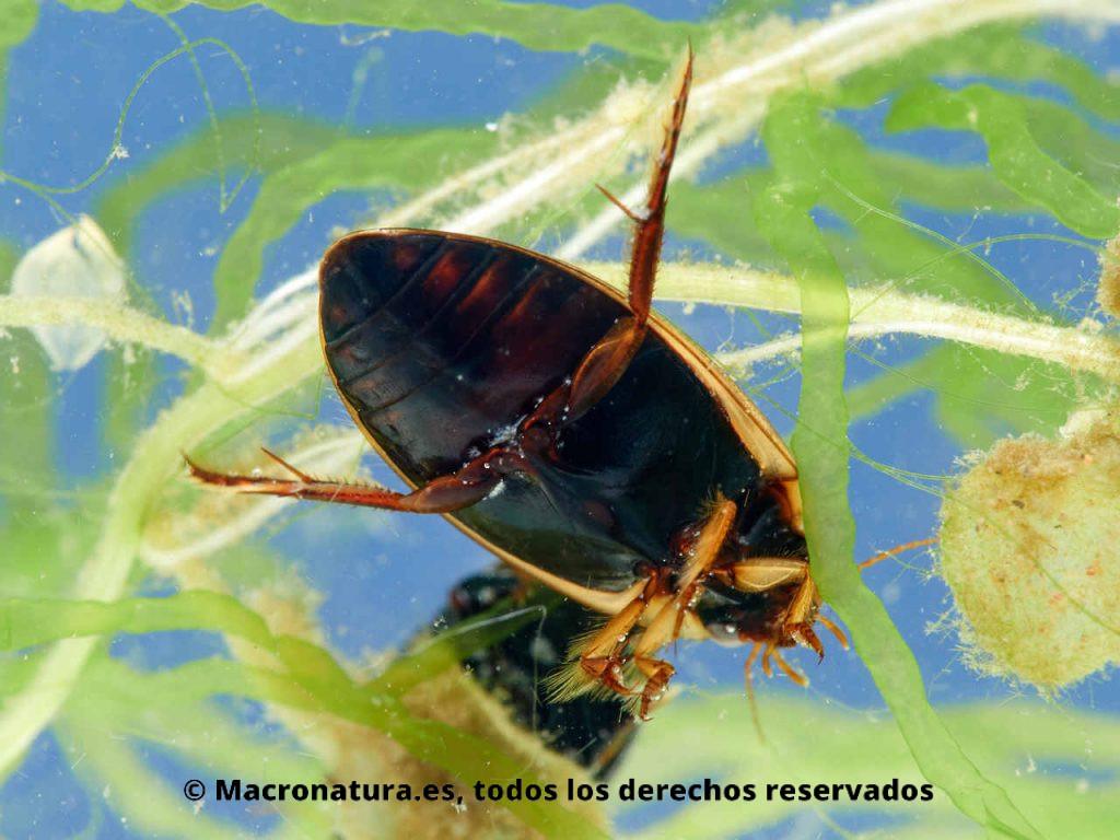 Escarabajo acuático Rhantus suturalis. Zona ventral negra.